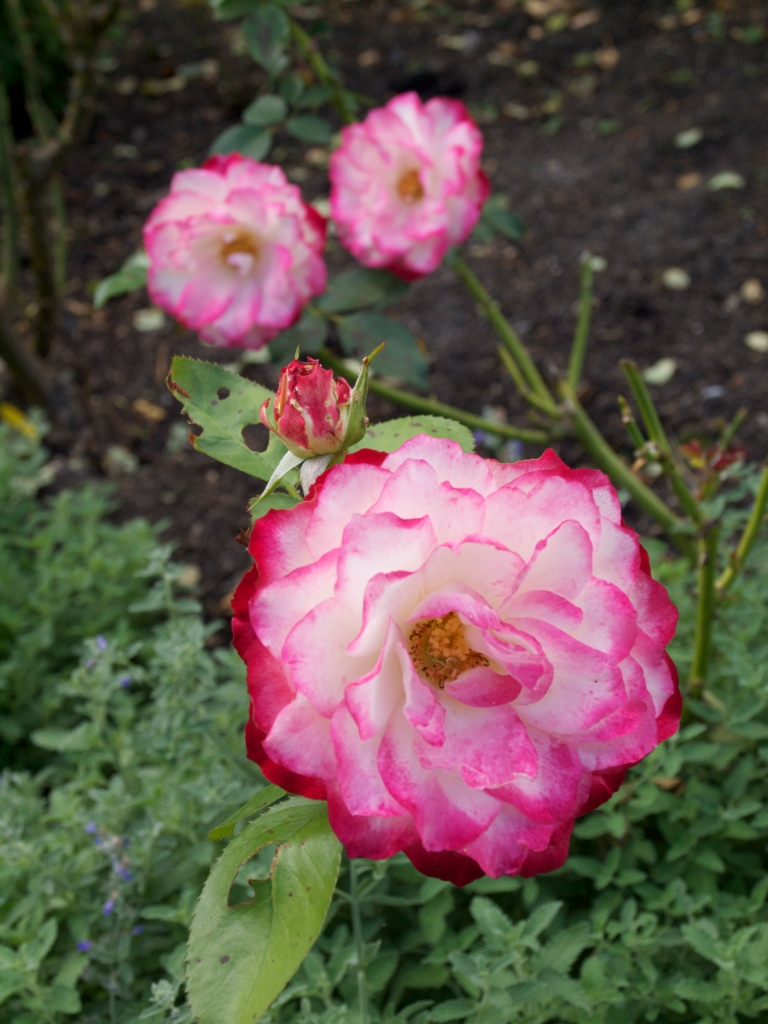 The Rose Garden - Cruden Farm