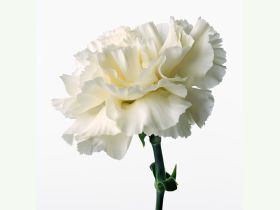White carnation (image via flowers89.com)