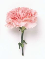 pink carnation (image via flowers89.com)
